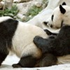Panda: The Other White Meat?
