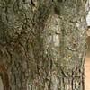 Jesus' Image Seen on Tree