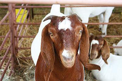 International Goat Days Family Festival (September)