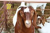 International Goat Days Family Festival (September)