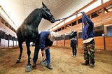 LANCE MURPHEY/THE HSUS - Investigators inspect McConnell's horses for sorting.