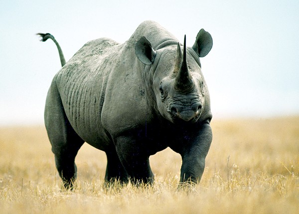 Jack Kenner's photograph of a rhino from a previous African safari - JACK KENNER
