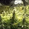 "Memphis Police Bust Marijuana ""Grow House"""