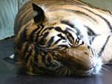 tiger_sleep.jpg