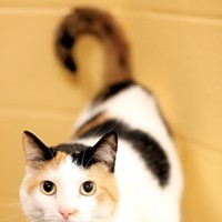 Mr. Rogers' Neighborhood Naomi (#A215753) 3-year-old female calico domestic shorthair cat • At MAS since March 6th • Spayed Justin Fox Burks