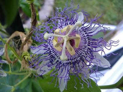passionflowerbloom4small.jpg