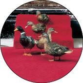 Peabody Ducks - COURTESY MEMPHIS CONVENTION & VISITORS BUREAU