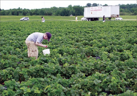 Pick-your-own berries are ripe at Shelby Farms.