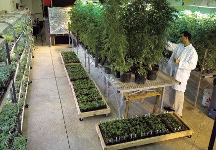 NIDA cannabis cultivation facility at the University of Mississippi
