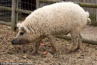 1272055639-sheep-pig.jpg
