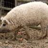 sheep pigs