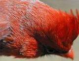 Sleeping Redbird
