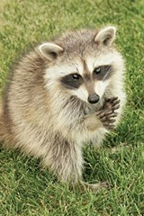 rant_raccoon_v1_25653293.jpg