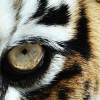 Top 15 Tigers