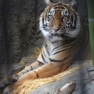 Tiger Killed in Mating Attempt