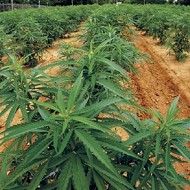Tennessee Black Caucus To Rally Tuesday For Marijuana Decriminalization