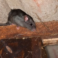 Terminix: A Ghost? In Memphis, Probably a Roof Rat