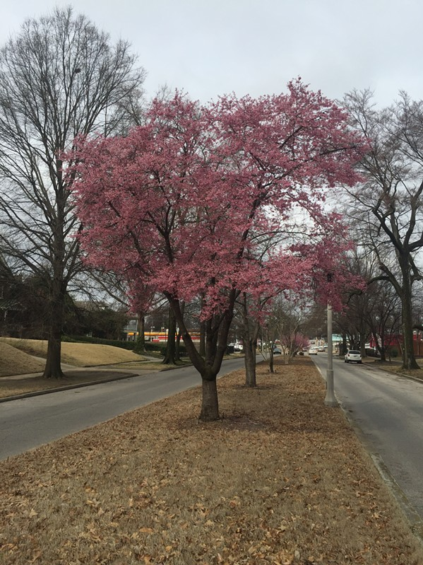 HARBINGER OF SPRING NUMBER 1: A sure sign of spring is when the crabapple trees bloom on Belvedere. - MICHAEL DONAHUE