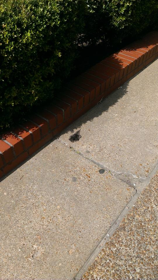 This sad little hair wad was observed in front of the Tiger Den on the University of Memphis campus.