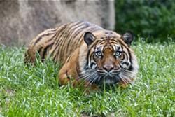 tiger_zoo_.jpg