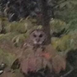 "Your Spirit Animal, Memphis — The High Point ""Murder Owl."""