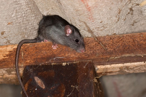 Terminix says roof rats often climb wires to gain access to homes. - TERNINIX