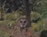 Murder Owl Wins First FOTW Spirit Animal Poll