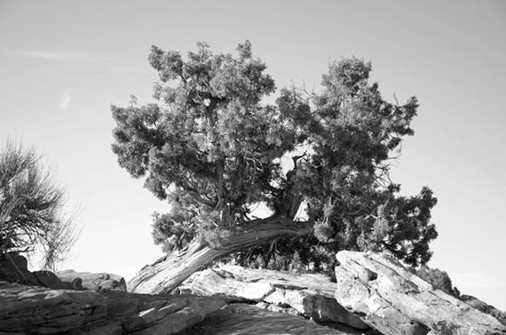 bw_desert_tree-ad.jpg