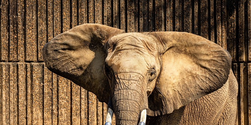 Daisy the elephant at Memphis Zoo in a photo from February