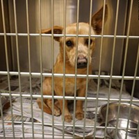 "Memphis Pets of the Week (Feb. 2-8) #A293401 ""Goldie"" Female, 1 year, 17 lbs OWNER SURRENDER Review Date: 1/28/17 ASK TO SEE ME IN AREA F! I'm located at Memphis Animal Services  901-636-1416 Ext 2"