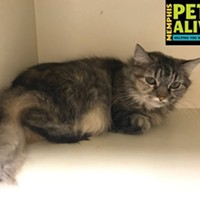 "Memphis Pets of the Week (Feb. 2-8) #A292718 ""Chattanooga"" 10 years, 8 lbs OWNER SURRENDER Review Date: 12/28/16 I'm located at Memphis Animal Services 901-636-1416 Ext 2"