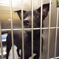 "Memphis Pets of the Week (Feb. 16-22) #A293588 ""Prince"" Male, 8 months, 27 lbs OWNER SURRENDER Review Date: 2/7/17 I'm located at Memphis Animal Services  901-636-1416 Ext 2"