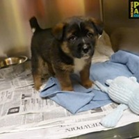 Memphis Pets of the Week (Feb. 16-22) #A293728 Male, 2 mos, 5.6 lbs Intake 2/14/2017 Review Date 2/18/2017 Memphis Animal Services, 901-636-1416, Ext 2