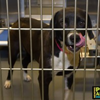 Memphis Pets of the Week (April 20-26) #A295045 Female, 2 years, 41 lbs HEARTWORM NEGATIVE! Intake: 4/13/17 Review Date: 4/19/17 I'm located at Memphis Animal Services  901-636-1416 Ext 2
