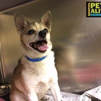 "Memphis Pets of the Week (May 11-17) #A295631 ""Pepper"" Neutered Male, 8 years, 12 lbs HEARTWORM NEGATIVE! OWNER SURRENDER Review Date: 5/5/17 I'm located at Memphis Animal Services  901-636-1416 Ext 2"