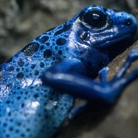 The Memphis Zoo's azure poison dart frog, one resident of the Herpatarium.