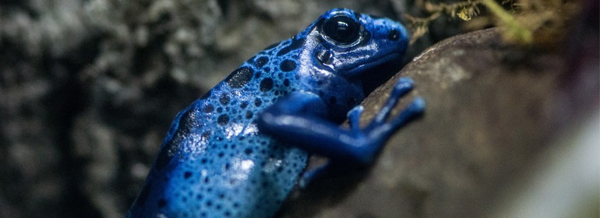 The Memphis Zoo's azure poison dart frog, one resident of the Herpatarium. - MEMPHIS ZOO