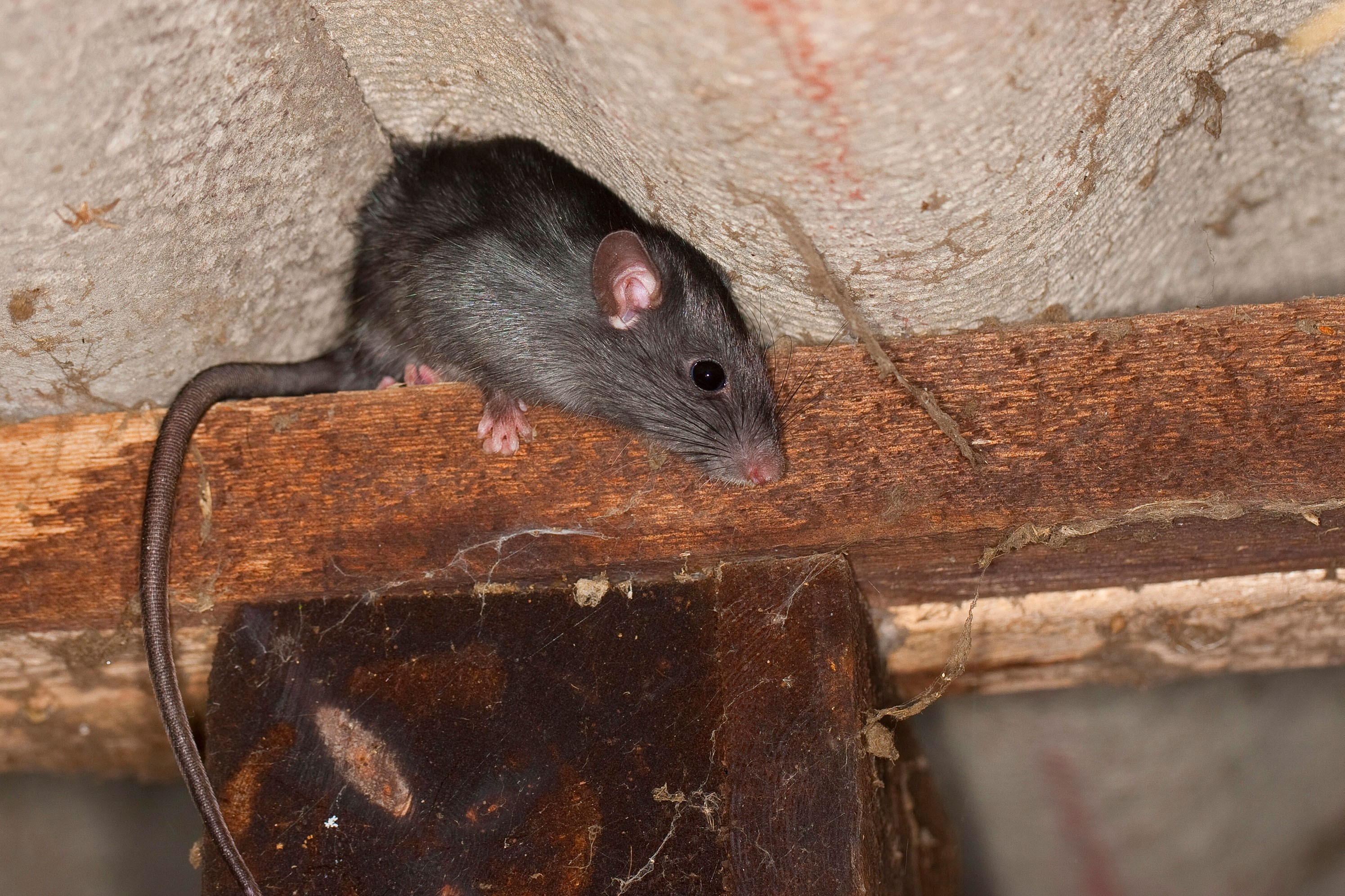 Click To Enlarge Terminix Says Roof Rats Often Climb Wires To Gain Access  To Homes.   TERNINIX