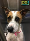 #A303760 PRINCESS Female 2 yrs 53 lbs  HW NEGATIVE Review Date 5/ 7 //2018 Memphis Animal Services, 901-636-1416 Ext 2