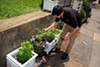 Josh Steiner picks fresh vegetables from the garden.