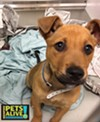 #A294596 Male, 4 months, 13 lbs Intake: 3/27/17 Review Date: 3/31/17 I'm located at Memphis Animal Services  901-636-1416 Ext 2