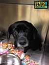 #A295552 Female, 6 years, 21 lbs, HW + Intake: 5/2/17 Review Date: 5/6/17 I'm located at Memphis Animal Services  901-636-1416 Ext 2