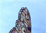 Botanical Art in Watercolor Class: Butterfly Series