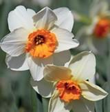 0362d0ea_daffodils.jpg