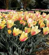 cd54f9d1_tulips.jpg