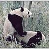 Panda Porn: It's Working!