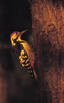 woodpeckerjpg