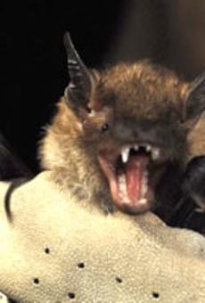 (De)Mythologizing Bats