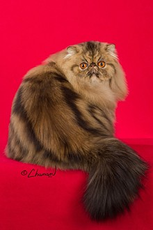 CFA - Scout - brown tabby persian