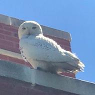 Snowy owls seeking summer sun have found a home in metro Detroit
